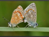 mateing_butterflys[2]